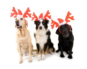 bigstock-christmas-dogs-19386416